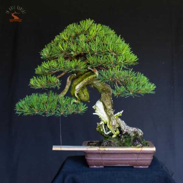 La cura attenta e quotidiana dei nostri bonsai