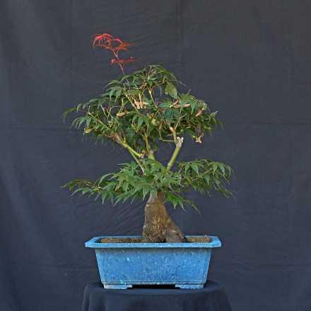 Acer palmatum var. Toroyama