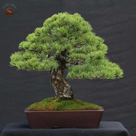 Pinus pentaphilla
