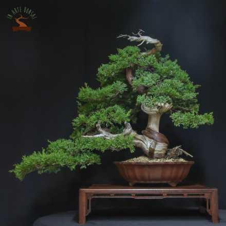 Juniperus (Taiwan)