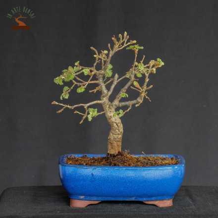 Quercus pubescens