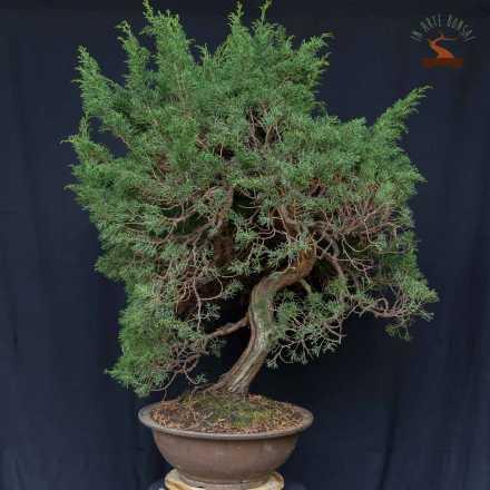 Juniperus chinensis var. Itoigawa