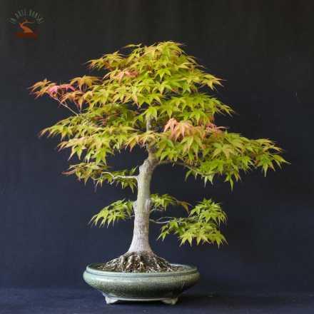 Acer palmatum var. beni chidori