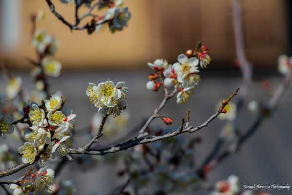 Floraison en Shunka-en, le jardin du maître Kunyo Kobayashi