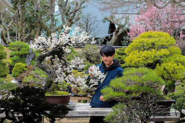 Un disciple nettoie les fleurs fanées d'un prunus à Omiya
