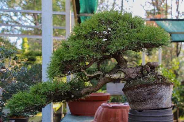 Le pin mugo extrait de son pot