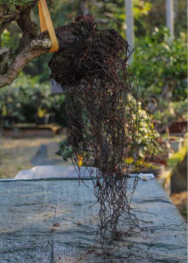 Racines très longues typiques des pins