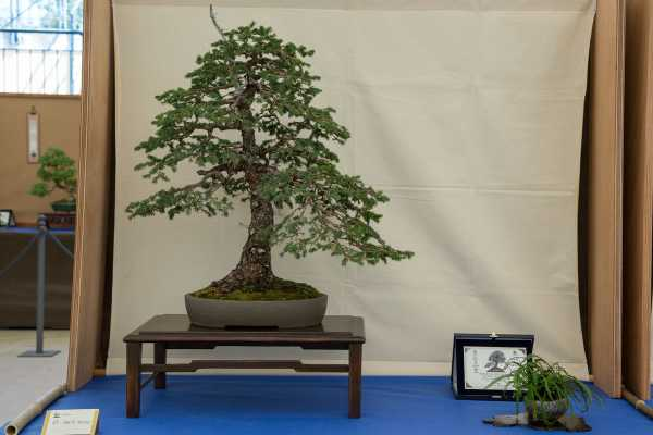 Picea de Diego Rigotti, Prix In Arte Bonsai