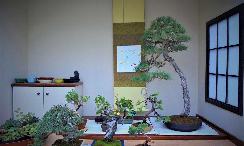Le bonsaï dont vous avez toujours rêvé