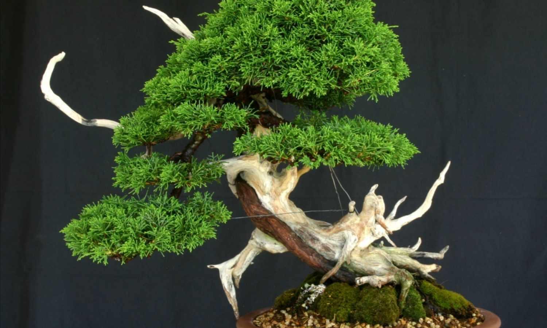 Grand choix de spécimens de bonsaïs